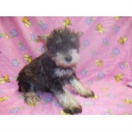 Miniature Schnauzer breeder in Falcon, Missouri
