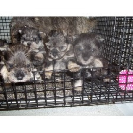 Miniature Schnauzer breeder in Missouri