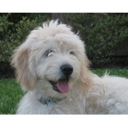 Goldendoodles for sale in Michigan