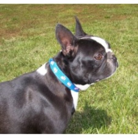 Boston Terrier breeder Piedmont 13802