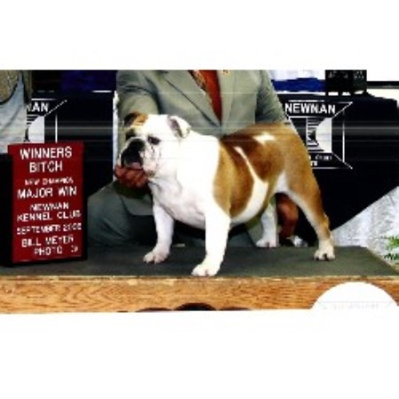 English Bulldog breeder in Livingston