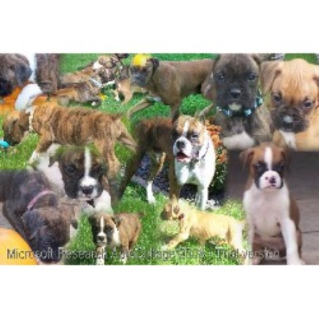 Boxer breeder Black River Falls 13882