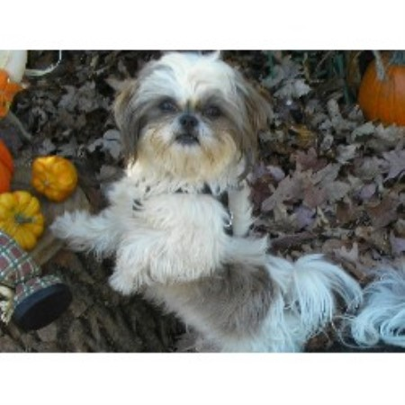 Shih Tzu Farm Akc Shih Tzu Breeder In Holland Ohio