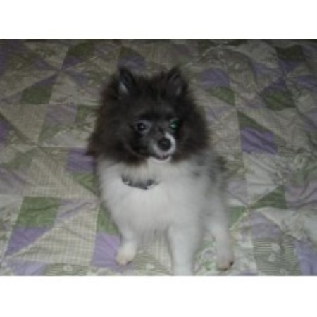 pomeranian puppies for sale in pittsburgh pa eastern pittsburgh pomeranians pomeranian breeder in 4830