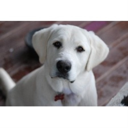 Labrador Retriever breeder Cadwell 13915