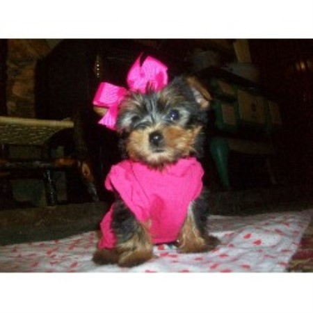 Yorkshire Terrier breeder Crane Hill 13940