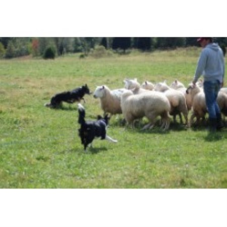 Border Collie breeder Wadsworth 13955