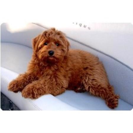 Goldendoodle miniature goldendoodle goldendoodle puppies f2 dog dog