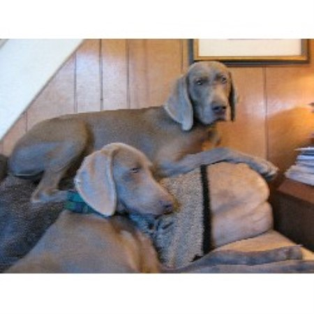 Weimaraner breeder Woodcliff Lake 13985