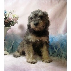 Schnoodle Breeders Near Nyc