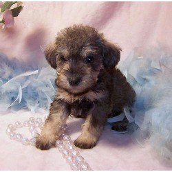 014023_EAN_Schnoodle-puppy-Schnoodles-for-sale.jpg