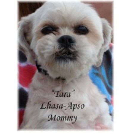 Lhasa Apso breedering kennel in Cassville