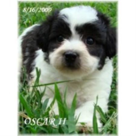 Lhasa Apso breeder in Missouri