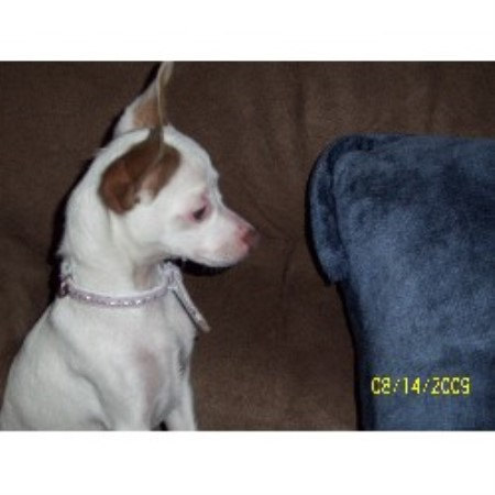 Blue Skies Toy Rat Terriers Rat Terrier Breeder In Colorado Springs