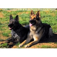 german shepherd breeders in n c german shepherd dog breeders in north carolina page 1 2339