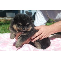Pomeranian Puppies For Sale: Pomeranian Puppies For Sale In
