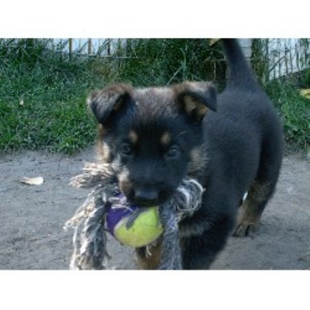 Ulvilden German Shepherds German Shepherd Dog Breeder In