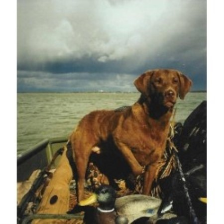 Chesapeake Bay Retriever breeder in Michigan