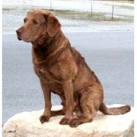 Chesapeake Bay Retriever Breeder 14111
