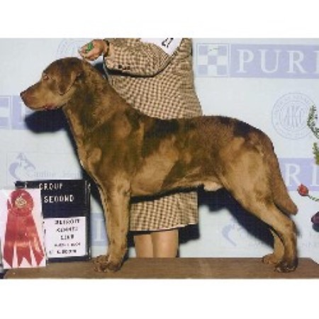 Chesapeake Bay Retriever breedering kennel in Flint