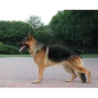 Island Grove German Shepherds