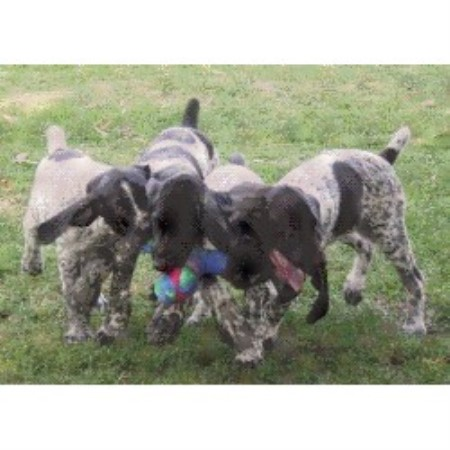 Paladen German Shorthaired Pointers German Shorthaired