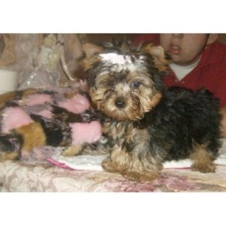 Whimsical Pups, Morkie Breeder in Muskogee, Oklahoma