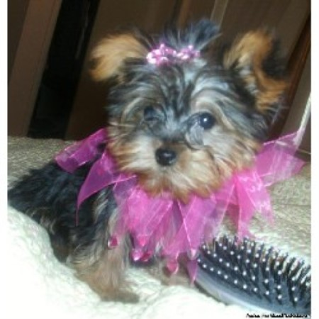 Whimsical Pups Morkie Breeder In Muskogee Oklahoma