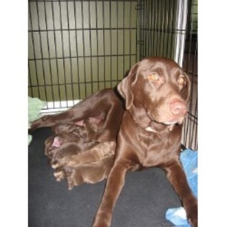 Labrador Retriever breeder Oak Grove 14263
