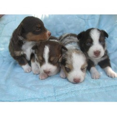 Miniature australian shepherds for sale in all usastates