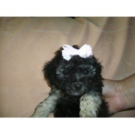 Amanda S Puppies Yorkipoo Breeder In Austin Texas