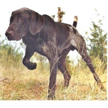 Keystone Gun Dogs German Shorthaired Pointer Breeder In