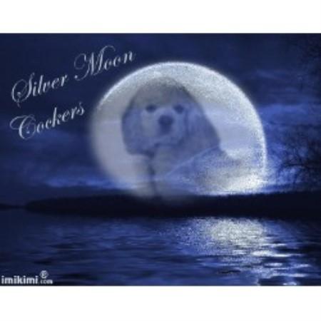 Silver Moon Cockers American Cocker Spaniel Breeder In Nevada Missouri