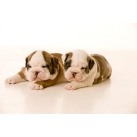 Rocky Mountain Bulldogs Of Montana, English Bulldog ...