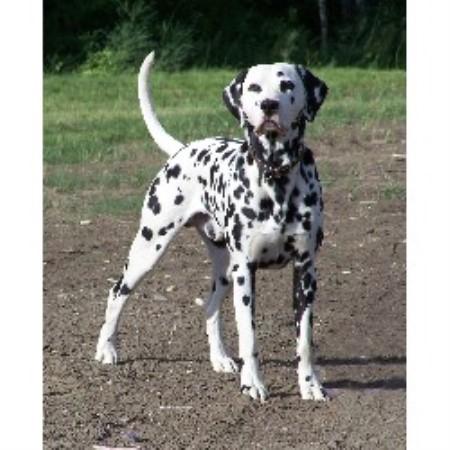 Dalmatian For Sale Dalmatian breeder Rocky