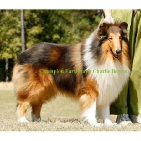 Collie breeder Covington 14412