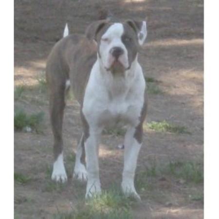 Lucas' High Desert Bulldogs, American Bulldog Breeder in ...