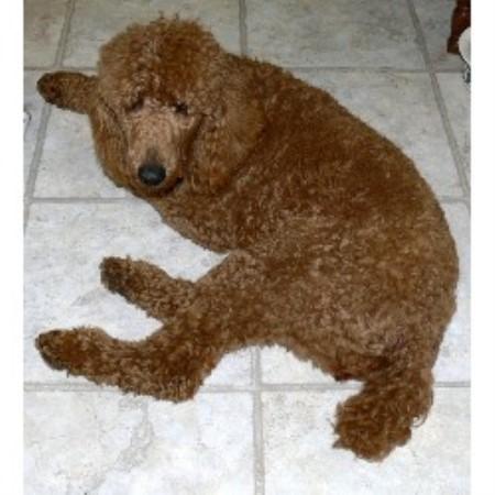 Elite Standard Poodle, Poodle Standard Breeder in Windsor