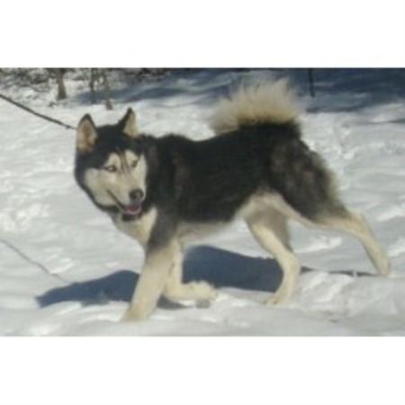Image Result For Siberian Husky Breeders In Ohio