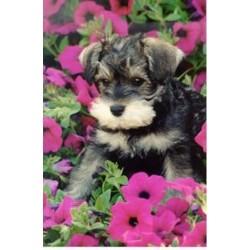 Miniature Schnauzer breeder Onoway 14445