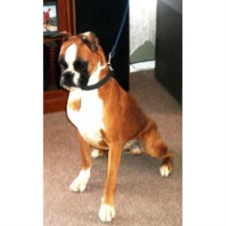 Boxer Puppies and Dogs for Sale in El Paso, TX, USA