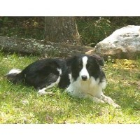 Bonderosa Border Collies