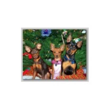 Miniature Poodle Austin Texas