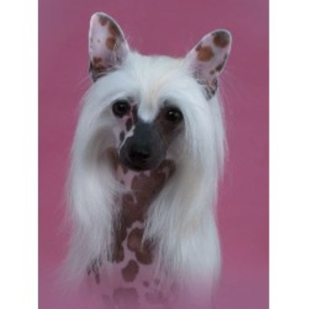 Risin Star Cresteds, Chinese Crested Breeder in Okeechobee ...