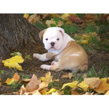 Lazy T Bulldogs, English Bulldog Breeder in Unionville ...