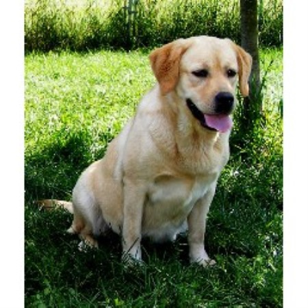 Labrador Retriever breedering kennel in Montrose