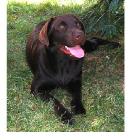 Lab breeder in Montrose, Pennsylvania