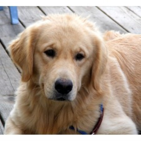 Golden Retriever breeder in Montrose, Pennsylvania