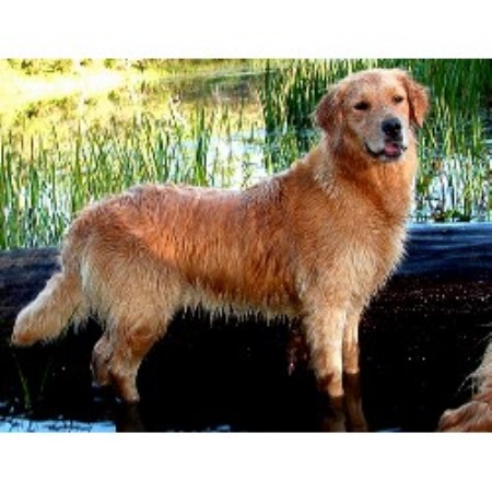 Golden Retriever breeder Montrose 14498