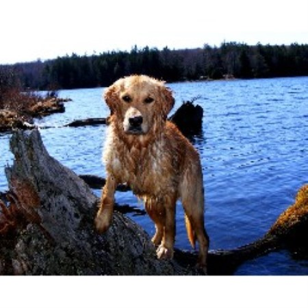 Golden Retriever breeder in Montrose